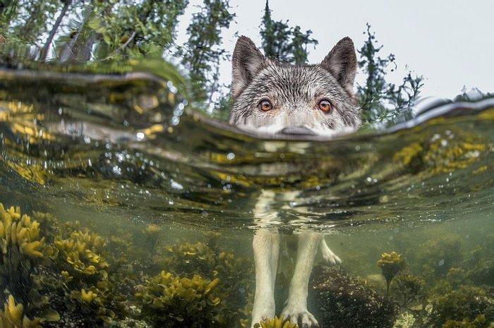 Фото Иана Макалистера, которому посчастливилось поймать на камеру волка во время его охоты за икрой сельди.