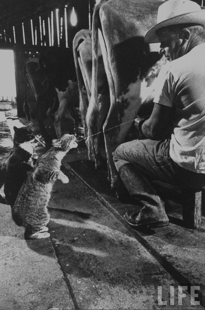 Кошки ловят молоко во время дойки на ферме Бадерчера. Фресно, Калифорния, 1954 год