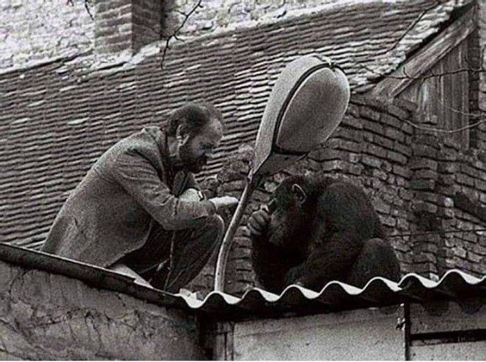Вук Бойович, директор Белградского зоопарка, пытается убедить шимпанзе Сами вернуться домой после побега.1988 год.